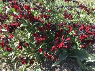Erysimum cheiri 'Blood Red' (Goldlack)