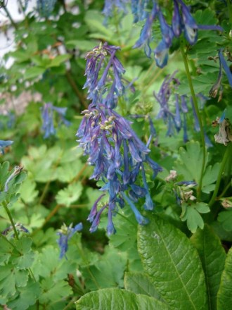 Corydalis flexuosa 'China Blue' (Blauer Lerchensporn)