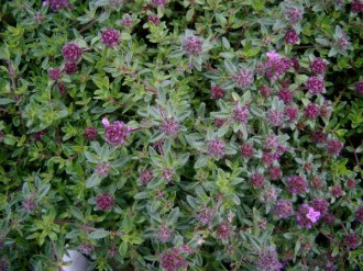 Thymus serpyllum `Magic Carpet` (Feldthymian)