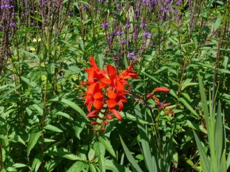 Crocosmia masoniorum (Montbretie)
