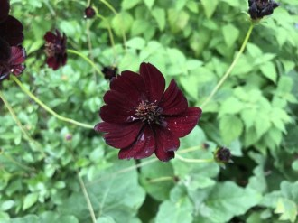 Cosmos atrosanguineus 'Black Magic' (Schokoladen-Kosmee)